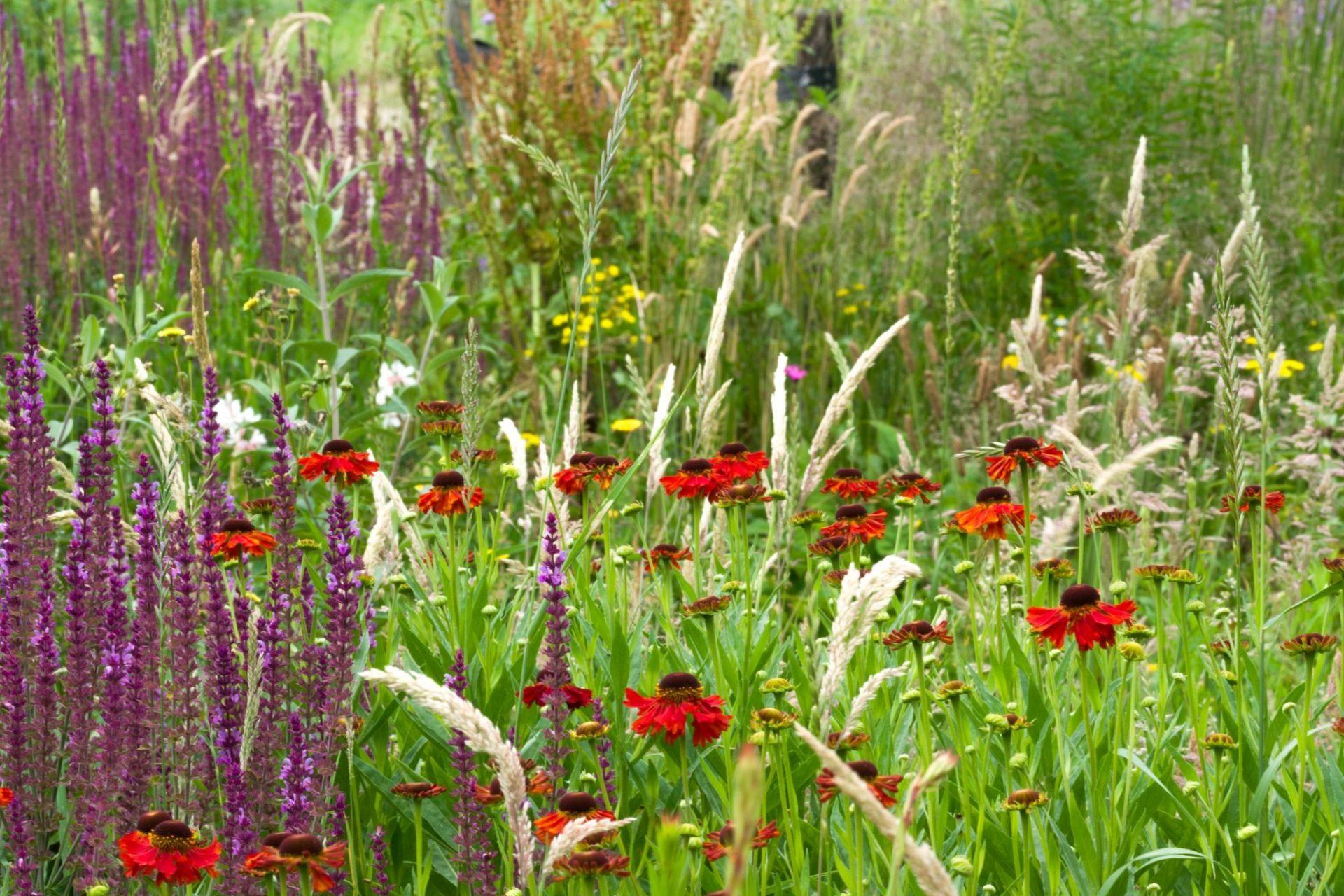 Helenium en Salvia met grassen